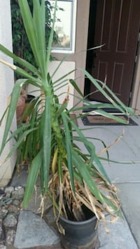 green leaf plant in pot Indio, 92203