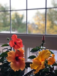 Hibiscus plants for sale Vaughan, L6A 3X1