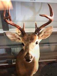 Brown and white deer taxidermy Belle Glade, 33430