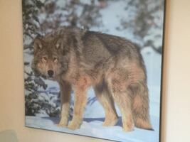 Brown Wolf Mounted Excellent Condition