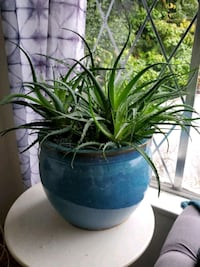Very Large Aloe plant with pot