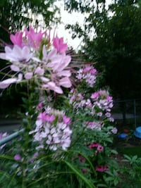 Flowers plants cleome every year Manassas, 20111