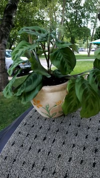 Beautiful tropical house plants $3 - $20 ready to go  London, N5Y 4L1
