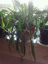 Extra large spider plant home grown Victoria, V8T 3Y9