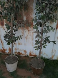 two green outdoor plants
