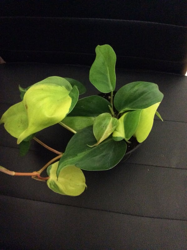 "Philodendron Brazil in 3.5"" pot 2"