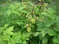 yellow Rubus spp. raspberry plants Belle Vernon
