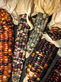 Five ears of Indian Corn for $5.00 Mount Airy, 21771