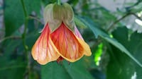 Abutilon aka Flowering Maple 1 gal pot Foster City