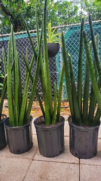 3 feet tall Cylindrical Snake plants. Rare. Hard to find. $15 each