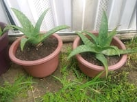 Large aloe $15 for the 2 Humble, 77396