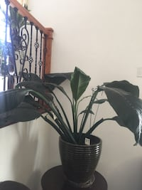 Beautiful and healthy huge piece Lily plant in the big new ceramic pot Aurora, 80012