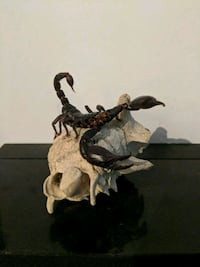 Taxidermied scorpion on goat skull