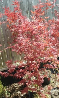 Upright Japanese maples