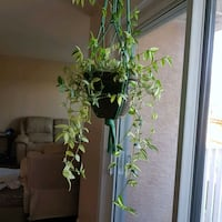 Real live hanging plant Calgary, T3K 4E3