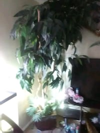 green leaf plant with black pot Bakersfield, 93305