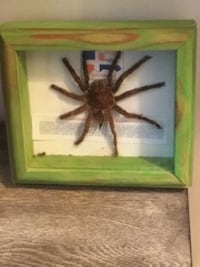 Tarantula in attractive picture frame.... Chantilly