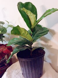 Fiddle Leaf $50 Firm price