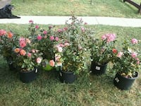 Roses,pink knockout & hybrid tea District Heights, 20747