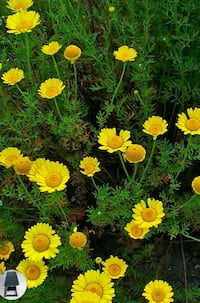 Golden margurite 30 + seeds Anthemis  insec St. Louis, 63125