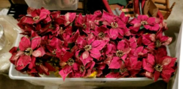 9 Holiday Poinsettias in Gold wrapped pots