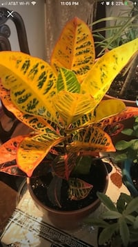 Beautiful colorful house plant in the big pot Denver, 80237