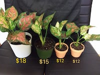 Beautiful Aglaonema, prices are in the picture  Toronto, M3J 1K6