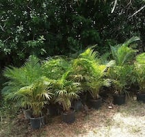 Clusia privacy plant palms
