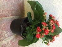 Kalanchoe red plant