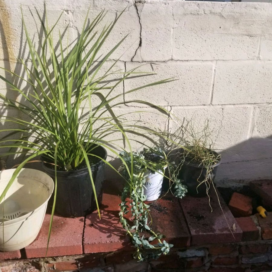 Plants: Dracaena, Donkey's Tail, Curly Juncus