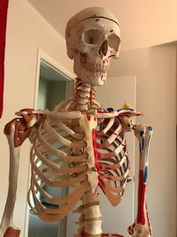 Medical skeleton model
