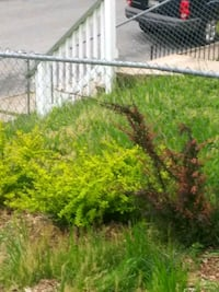 Barberry Bushes Baltimore, 21225