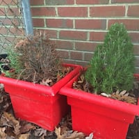 2 festive potted baby pines  Henrico, 23229