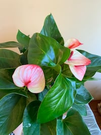 "6"" anthurium (different colors available ) Surrey, V4N 5N8"