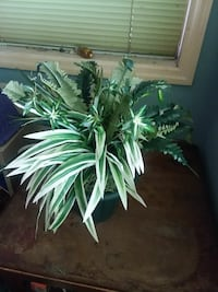 green and white leaves indoor plant Myrtle Beach, 29577