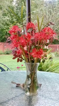 Spider Lilly bulbs (naked lady) price cut! Coinjock, 27923