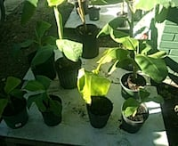 Small banana trees from $5 to $ $10 Houston, 77009