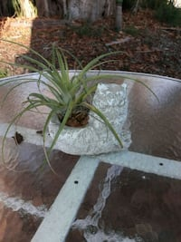 Air plant in weathered owl planter. Lake Worth, 33460