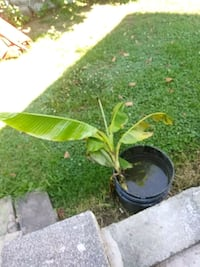 green leaf plant with black pot 323 mi