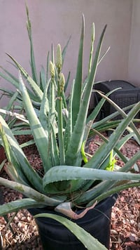 Aloe plants  Scottsdale, 85250