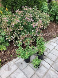 Spiraea bushes-2 large ones Woodbridge, 22192