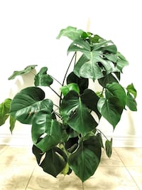 Monstera Deliciosa Plant (Swiss Cheese)