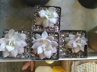 four white and green potted succulent plants Milton, 32583
