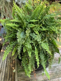 Beautiful Boston Ferns! Great for decor  or highlights at a wedding Edmonton, T6R 2K5