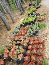 Succulents, Aloes, and Cacti sale!!! Goleta, 93117