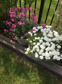 Perennials plants , come out each year, $10 each Surrey, V3V 7Z8