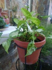 green leaf plant with brown pot Billings, 65610
