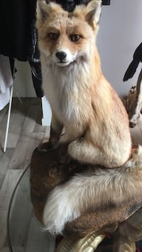 Fox Taxidermy Stavanger, 4014