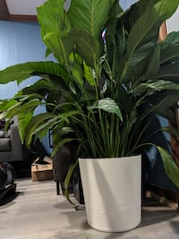 Peace Lily (2) Annandale