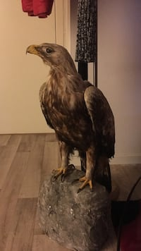 brun eagle taxidermi Stavanger, 4014
